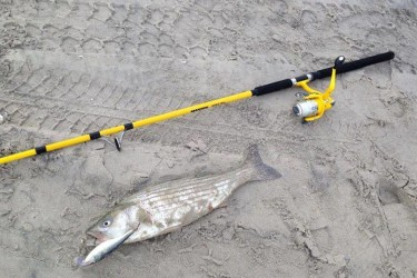 Riptide Bait and Tackle reported schoolie stripers hitting plugs in the surf.