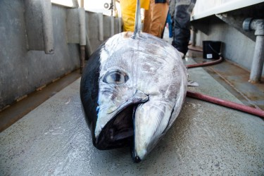 A bigeye tuna rests on the deck of the Jamaica party boat.