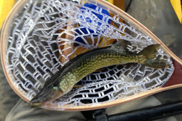A before-work pickerel from Tuesday morning.