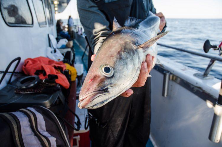 pollock fishing groundfish New Hampshire