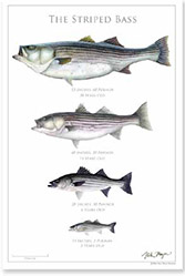 Nick Mayer-The Striped Bass Poster