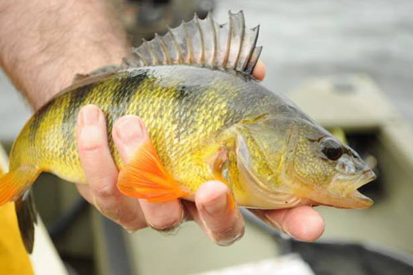 Anglers are catching lots of hefty Yellow Perch using nightcrawlers and live minnows.