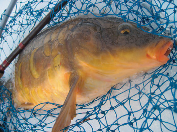 A large mirror carp just prior to release. A long-handled net is almost a must when trying to land a large carp along a snowy bank in winter.
