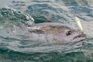 tuna-hooked