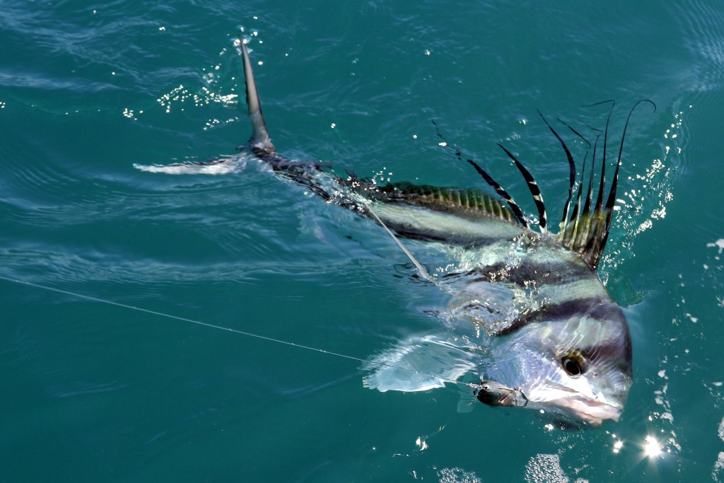 Bucket List Species The Roosterfish On The Water