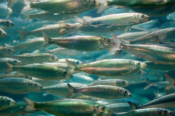 sea herring