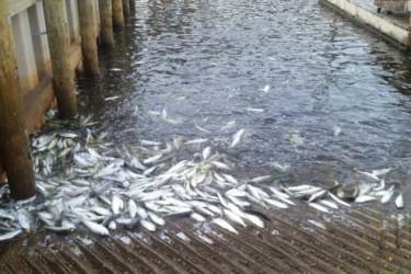 Peconic fish kill