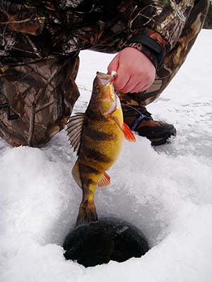 Catch Super-Sized Yellow Perch Through The Ice - On The Water