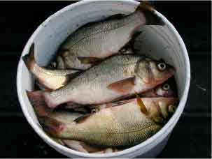 A bucketful of white perch will make for some very tasty fish dinners during the cold-weather months.