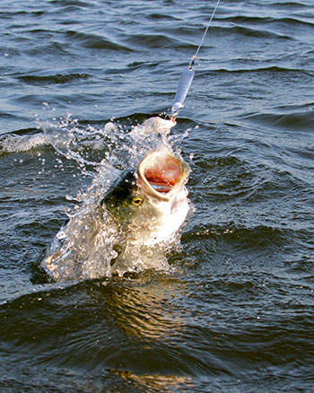Some days, the bluefish will only strike metal lures