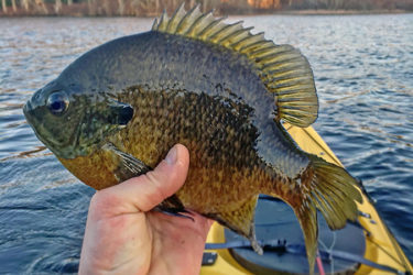 Fly-fishing with small poppers is a fun and effective way to catch spring panfish on a calm day.