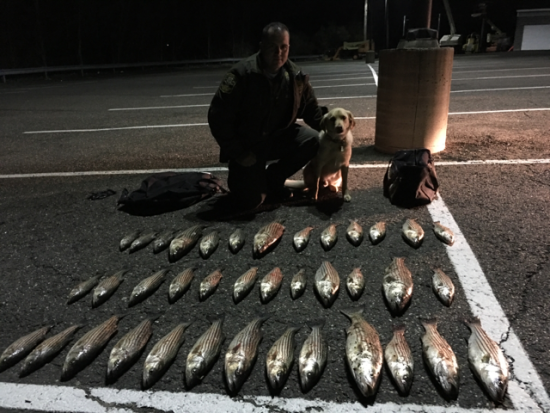 The Connecticut State Environmental Conservation Police! EnCon Police officers arrested four fishermen last night on the Housatonic River with 38 illegal striped bass. In the photo is Officer Logiodice and his K-9 Ruger, who assisted in locating the illegal fish.