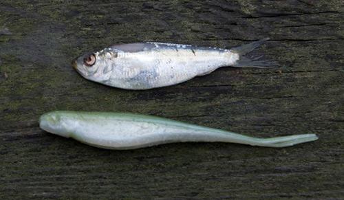 Jerk shads resemble many baitfish that largemouths crave.