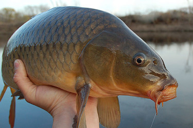 Finding And Fooling Long Island's Carp