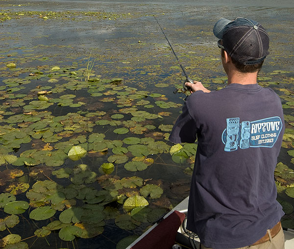 Largemouth cruise the flats, hunting down baitfish and other food.