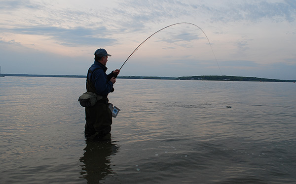 Early-season stripers put a good bend in a lightweight fly rod. Here, Ted Hendrickson plays a tough bass on an overcast afternoon.