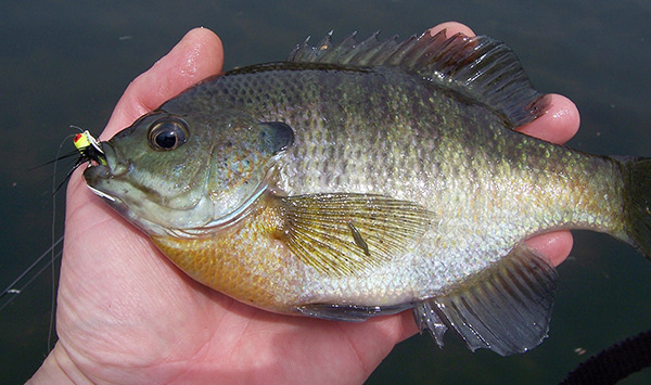 You should be pleased with any panfish that covers the palm of your hand.
