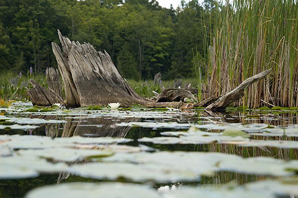 Shallow or deep, largemouth love stumps.