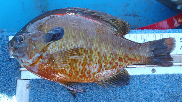 Sunfish often hybridize in lakes where multiple species occur