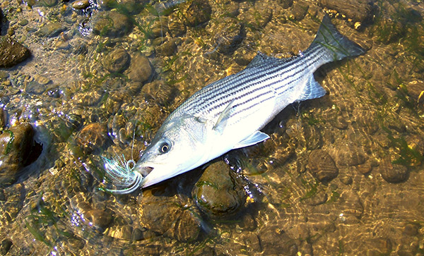 This spring river striper fell for a longer pattern that imitates herring and  bunker.