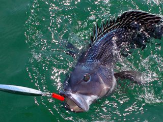 Springtime black sea bass fishing is fast and fun in Buzzards Bay and around Cape Cod.
