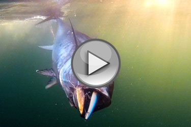 Last Call Bluefin