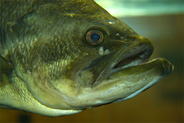 Rhode Island state record largemouth bass