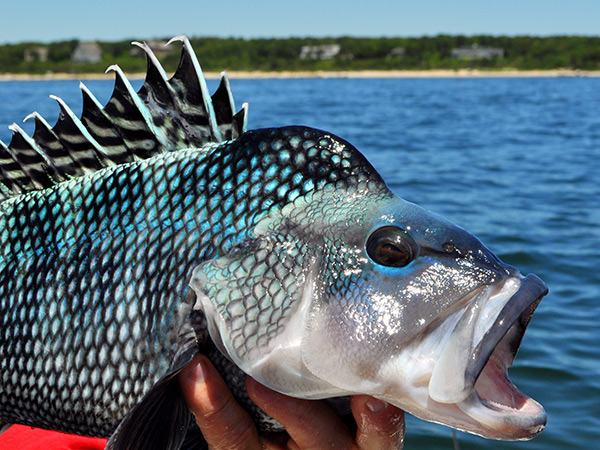 The black sea bass has a big mouth and an appetite to match.