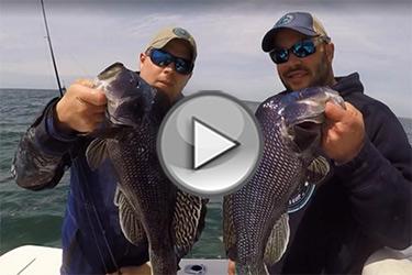 Buzzards Bay black seabass video