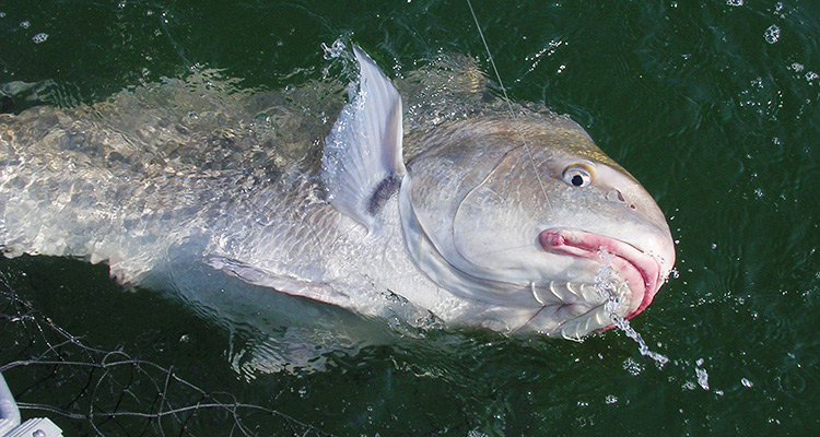 Think like a black drum on the water for Black drum fishing