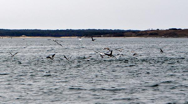 sea bass chasing baitfish under birds