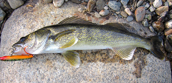 A Rapala X-Rap fooled this Ashuelot River walleye. The lower river can produce some great walleye fishing.