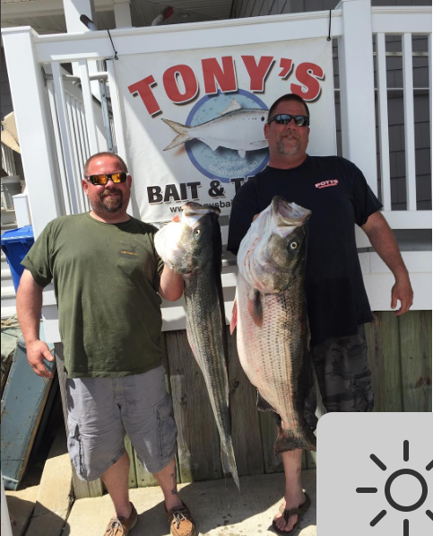 Big stripers have been caught on the troll off the beaches north of Barnegat Inlet. These cows were checked in at Tony's Bait and Tackle.