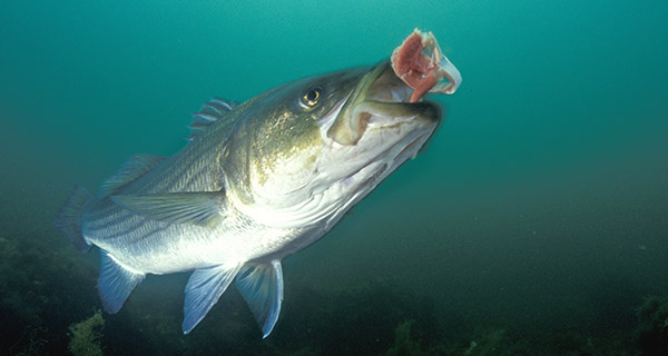 A striped bass inspects a herring chunk before engulfing it.