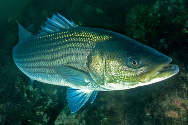 Big striped bass often appear curious, and will approach divers who enter their realm.