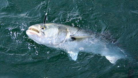 Bluefish also like eating diamond jigs.