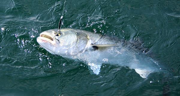 Bluefish also like eating diamond jigs.