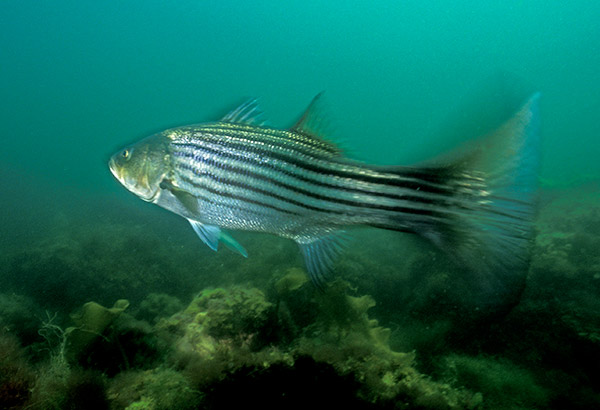 One particular striped bass seemed to understand that if it led the author to a hiding lobster, he would supply it with a free meal.
