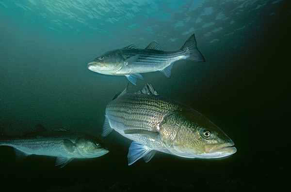Striped bass often appear in the same areas each season, and can be distinguished by their particular markings or old wounds.