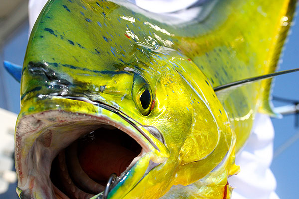 """""""Chicken"""" dolphin like this one are great fun on light tackle."""