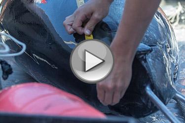 harpooning-tuna