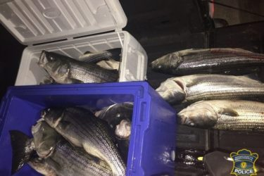 illegal Massachusetts Striped Bass