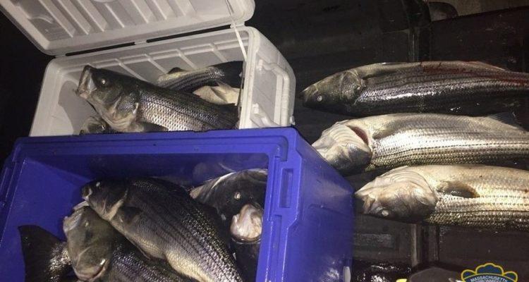 illegal Massachusetts Striped Bass