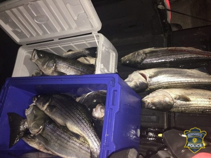 AUDREY: Commercial striped bass fish prices