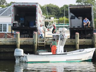 Commercial striped bass caught during the short season in Massachusetts are distributed to many local restaurants and seafood markets.