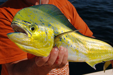 Mahi are one of the most beautiful offshore fish