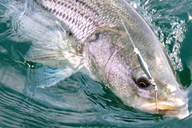 The Gamefish Debate