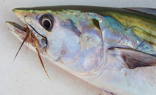 Slender baitfish imitations like the The Foxy Bone are excellent flies for fooling bonito.