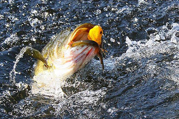 Leave the light tackle at home for this type of fishing. You'll need heavy braided line and a powerful rod to rip big bass out of the weeds.