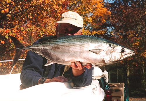 Large bonito will readily feed on large spearing or snapper blues